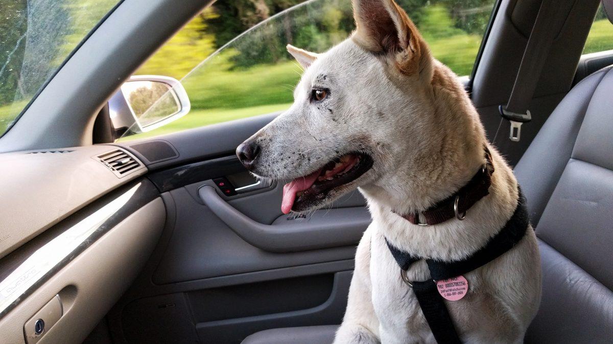 Hoe kun je je hond leren om te zitten in de auto
