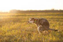 Preventieve voedingssupplementen voor de hond na blaasontsteking